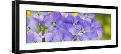 Lavendar and Yellow Pansies, Seattle, Washington, USA-Terry Eggers-Framed Photographic Print