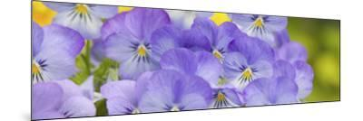 Lavendar and Yellow Pansies, Seattle, Washington, USA-Terry Eggers-Mounted Photographic Print