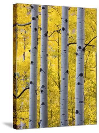 Autumn Aspen Stand, Yankee Boy Basin, Colorado, USA-Terry Eggers-Stretched Canvas Print