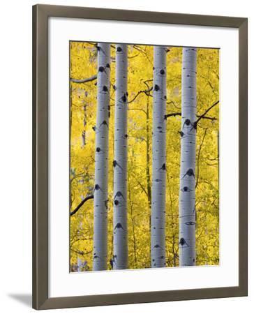 Autumn Aspen Stand, Yankee Boy Basin, Colorado, USA-Terry Eggers-Framed Photographic Print