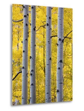 Autumn Aspen Stand, Yankee Boy Basin, Colorado, USA-Terry Eggers-Metal Print