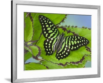 The Tailed Jay Butterfly on Flowers-Darrell Gulin-Framed Photographic Print