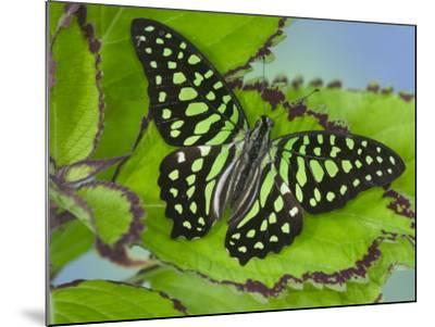 The Tailed Jay Butterfly on Flowers-Darrell Gulin-Mounted Photographic Print