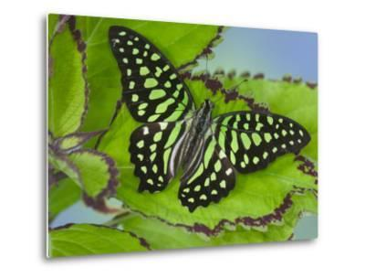 The Tailed Jay Butterfly on Flowers-Darrell Gulin-Metal Print