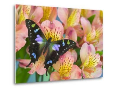 The Purple Spotted Swallowtail Butterfly-Darrell Gulin-Metal Print