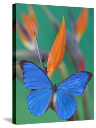 Morpho Anaxibia Butterfly on Flowers-Darrell Gulin-Stretched Canvas Print