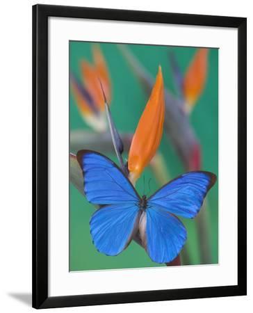 Morpho Anaxibia Butterfly on Flowers-Darrell Gulin-Framed Photographic Print