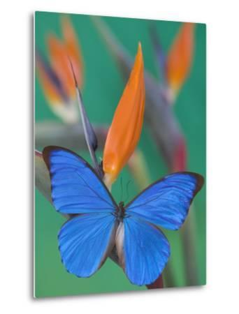 Morpho Anaxibia Butterfly on Flowers-Darrell Gulin-Metal Print