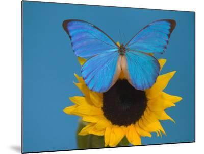 Morpho Anaxibia Butterfly on Flowers-Darrell Gulin-Mounted Photographic Print