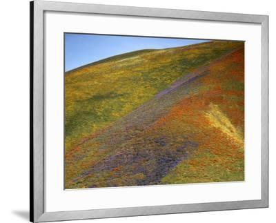 California Poppies and Globe Gilia, Tehachapi Mountains, California, USA-Charles Gurche-Framed Photographic Print