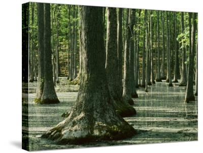 Water Tupelo swamp, Ripley County, Missouri, USA-Charles Gurche-Stretched Canvas Print