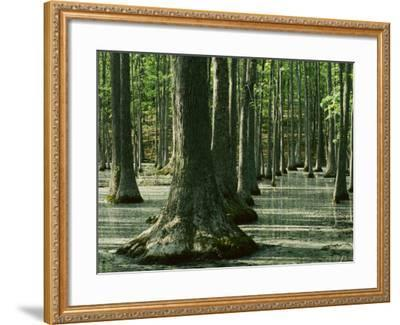 Water Tupelo swamp, Ripley County, Missouri, USA-Charles Gurche-Framed Photographic Print