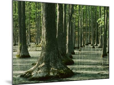 Water Tupelo swamp, Ripley County, Missouri, USA-Charles Gurche-Mounted Photographic Print