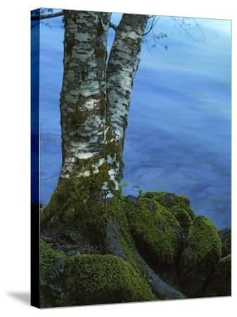 Alder Trunk along the McKenzie River, Willamette National Forest, Oregon, USA-Charles Gurche-Stretched Canvas Print