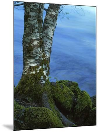 Alder Trunk along the McKenzie River, Willamette National Forest, Oregon, USA-Charles Gurche-Mounted Photographic Print