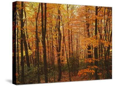 Autumn forest, Blue Ridge Parkway, Virginia, USA-Charles Gurche-Stretched Canvas Print