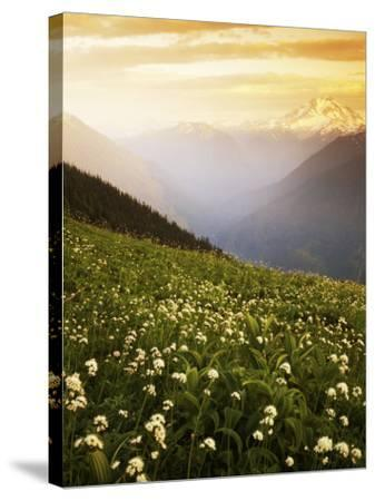 Meadow with helebore and sitka valerian on Green Mountain, Glacier Peak Wilderness, Washington, USA-Charles Gurche-Stretched Canvas Print