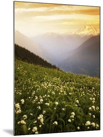 Meadow with helebore and sitka valerian on Green Mountain, Glacier Peak Wilderness, Washington, USA-Charles Gurche-Mounted Photographic Print