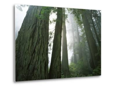Redwoods in fog, Redwood National Park, California, USA-Charles Gurche-Metal Print