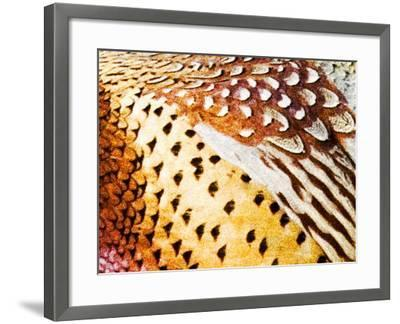 Close Up Pheasant Feathers, Moiese, Montana, USA-Chuck Haney-Framed Photographic Print