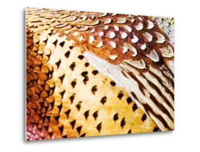 Close Up Pheasant Feathers, Moiese, Montana, USA-Chuck Haney-Metal Print