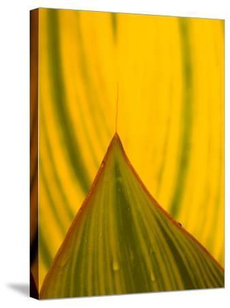 Detail of Hosta Leaf, Green Spring Gardens Park, Alexandria, Virginia, USA-Corey Hilz-Stretched Canvas Print