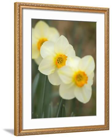 Closeup of White Daffodils, Arlington, Virginia, USA-Corey Hilz-Framed Photographic Print