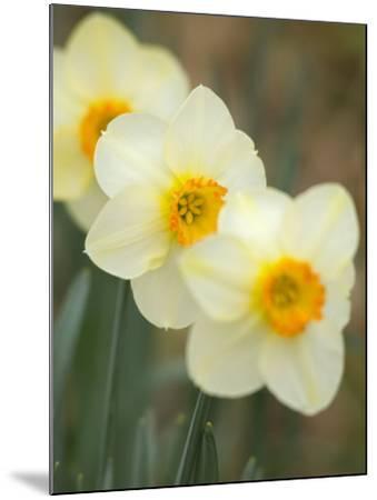 Closeup of White Daffodils, Arlington, Virginia, USA-Corey Hilz-Mounted Photographic Print
