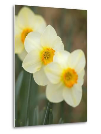 Closeup of White Daffodils, Arlington, Virginia, USA-Corey Hilz-Metal Print