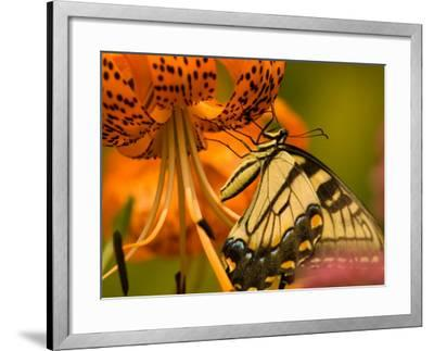 Eastern Tiger Swallowtail Butterfuly Feeding on Orange Tiger Lily, Vienna, Virginia, USA-Corey Hilz-Framed Photographic Print