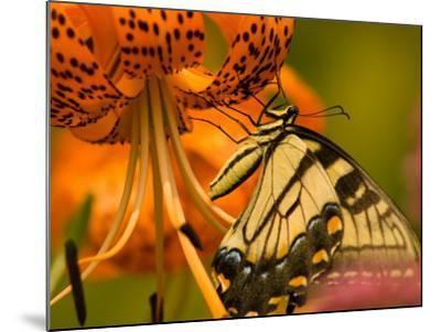 Eastern Tiger Swallowtail Butterfuly Feeding on Orange Tiger Lily, Vienna, Virginia, USA-Corey Hilz-Mounted Photographic Print