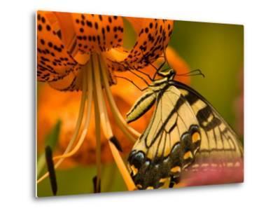Eastern Tiger Swallowtail Butterfuly Feeding on Orange Tiger Lily, Vienna, Virginia, USA-Corey Hilz-Metal Print