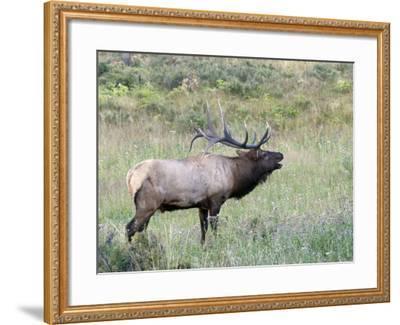 Wapiti Elk, Rocky Mountain National Park, Colorado, USA-Diane Johnson-Framed Photographic Print