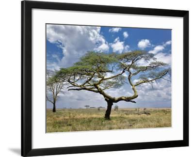 Umbrella Thorn Acacia, Serengeti National Park, Tanzania-Adam Jones-Framed Photographic Print