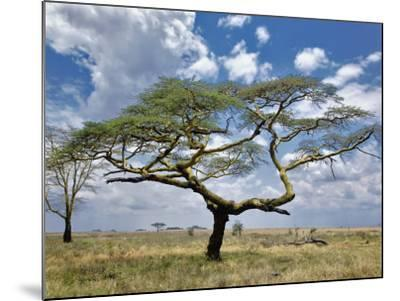 Umbrella Thorn Acacia, Serengeti National Park, Tanzania-Adam Jones-Mounted Photographic Print