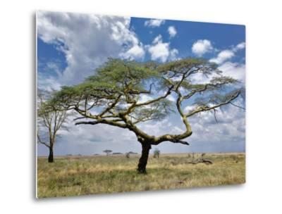 Umbrella Thorn Acacia, Serengeti National Park, Tanzania-Adam Jones-Metal Print