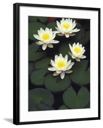 Hybrid waterlilys, Indiana, USA-Adam Jones-Framed Photographic Print