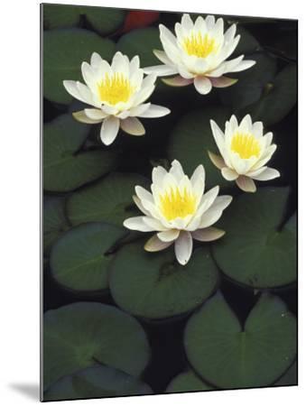 Hybrid waterlilys, Indiana, USA-Adam Jones-Mounted Photographic Print