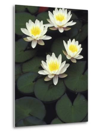 Hybrid waterlilys, Indiana, USA-Adam Jones-Metal Print