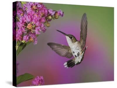 Ruby Throated Hummingbird, Kentucky, USA-Adam Jones-Stretched Canvas Print