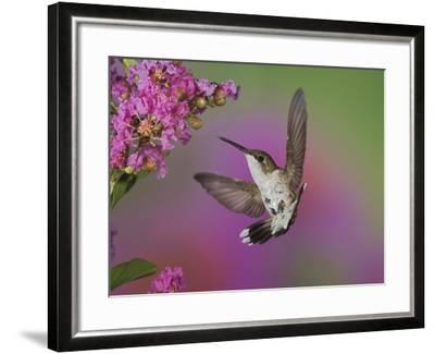 Ruby Throated Hummingbird, Kentucky, USA-Adam Jones-Framed Photographic Print