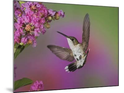 Ruby Throated Hummingbird, Kentucky, USA-Adam Jones-Mounted Photographic Print