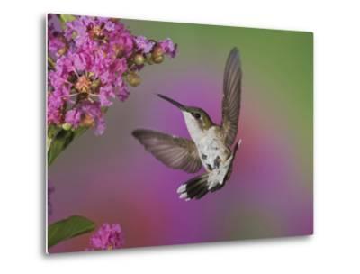 Ruby Throated Hummingbird, Kentucky, USA-Adam Jones-Metal Print