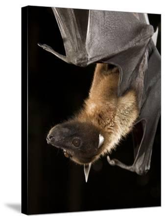 Giant Fruit Bat-Joe McDonald-Stretched Canvas Print