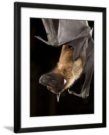 Giant Fruit Bat-Joe McDonald-Framed Photographic Print