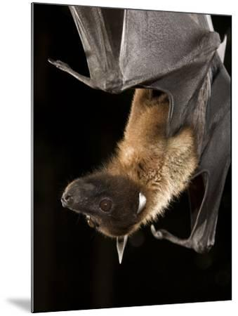 Giant Fruit Bat-Joe McDonald-Mounted Photographic Print