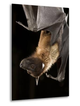 Giant Fruit Bat-Joe McDonald-Metal Print
