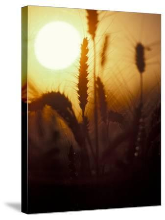 Silhouettes of Wheat Plants at Sunset-Janis Miglavs-Stretched Canvas Print