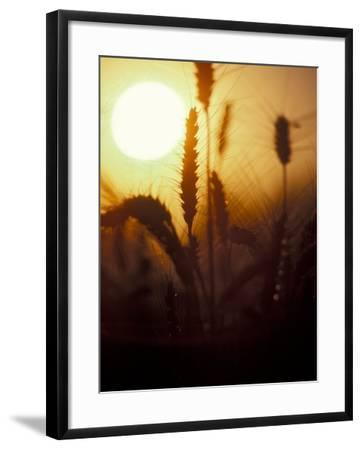 Silhouettes of Wheat Plants at Sunset-Janis Miglavs-Framed Photographic Print