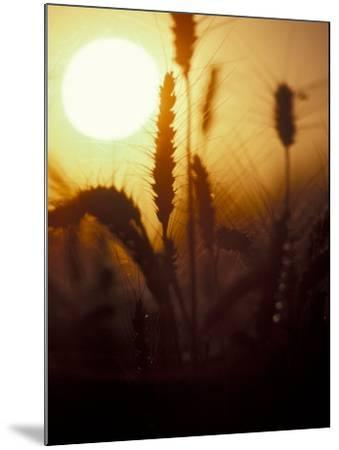 Silhouettes of Wheat Plants at Sunset-Janis Miglavs-Mounted Photographic Print